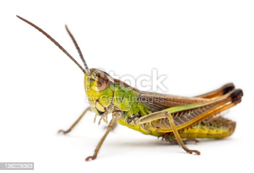 istock Cricket in front of white background 136229363