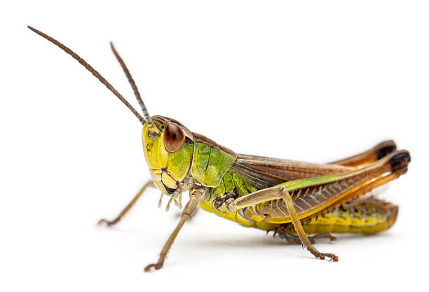 cricket in front of white background - insect stock pictures, royalty-free photos & images