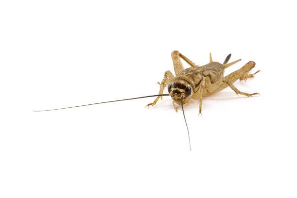 Cricket, isoliert auf weiss – Foto