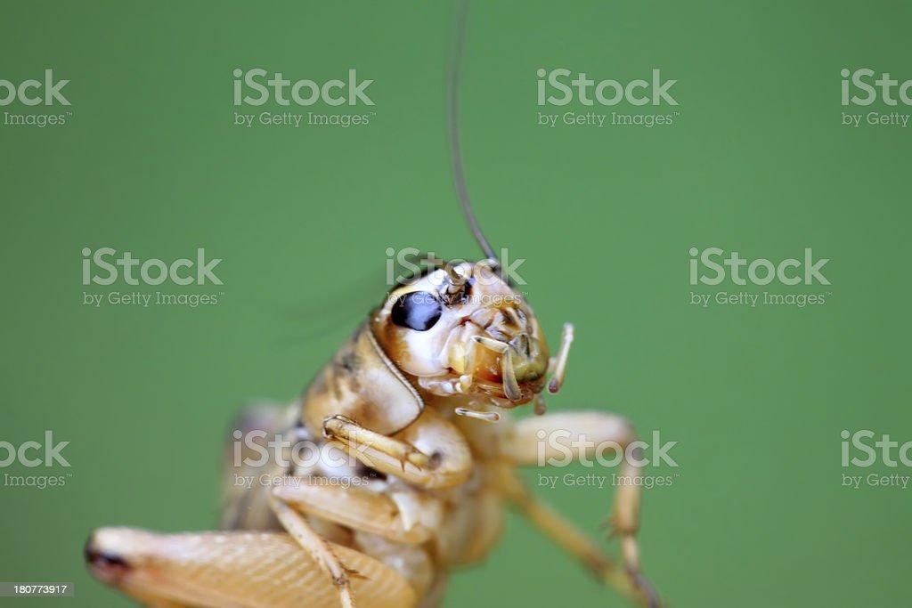 cricket nymphs royalty-free stock photo