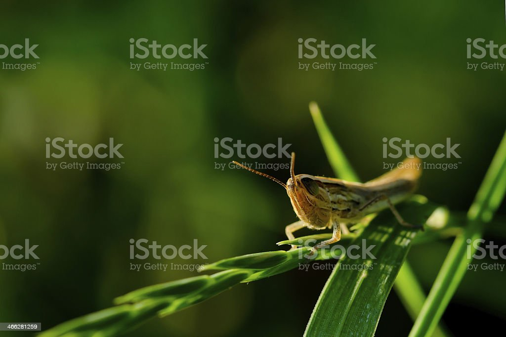 Cricket on a blade of wheat macro royalty-free stock photo