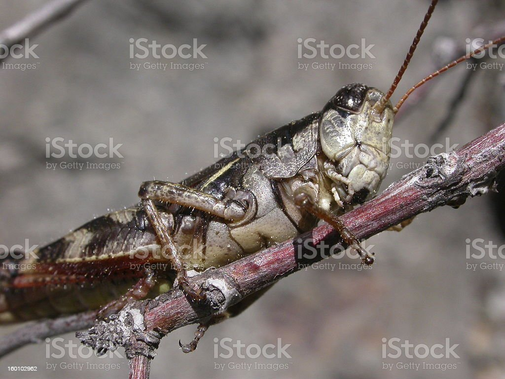 Cricket on a branch royalty-free stock photo