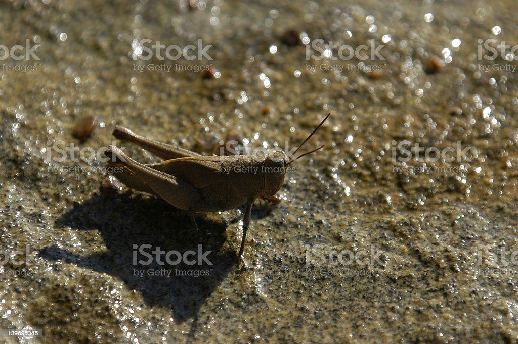 Cricket on a Rock stock photo