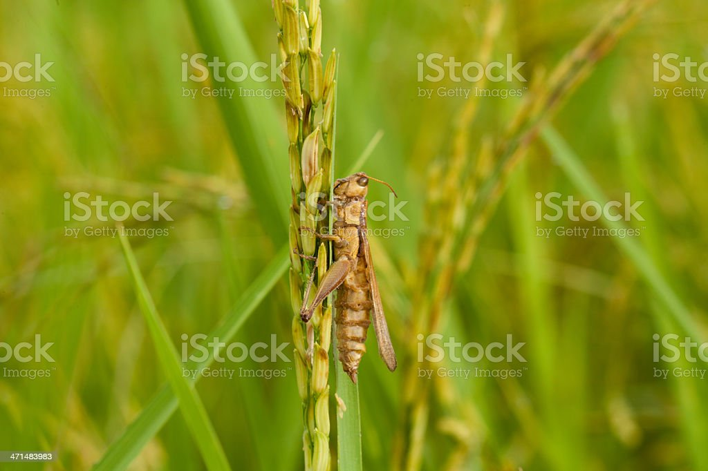 cricket on rice plant stock photo