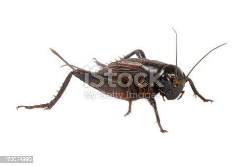 close-up photo of cricket.