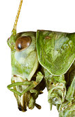Extreme Macro shoot of Bush Grasshopper Head