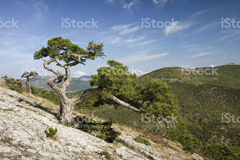 Crimea pine tree royalty-free stock photo