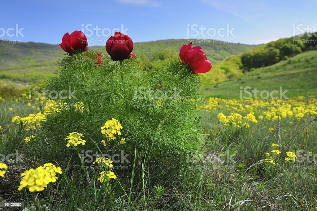Crimean poppies royalty-free stock photo