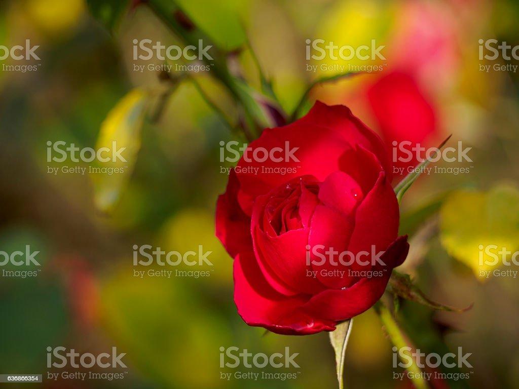 Crimson autumn rose ストックフォト