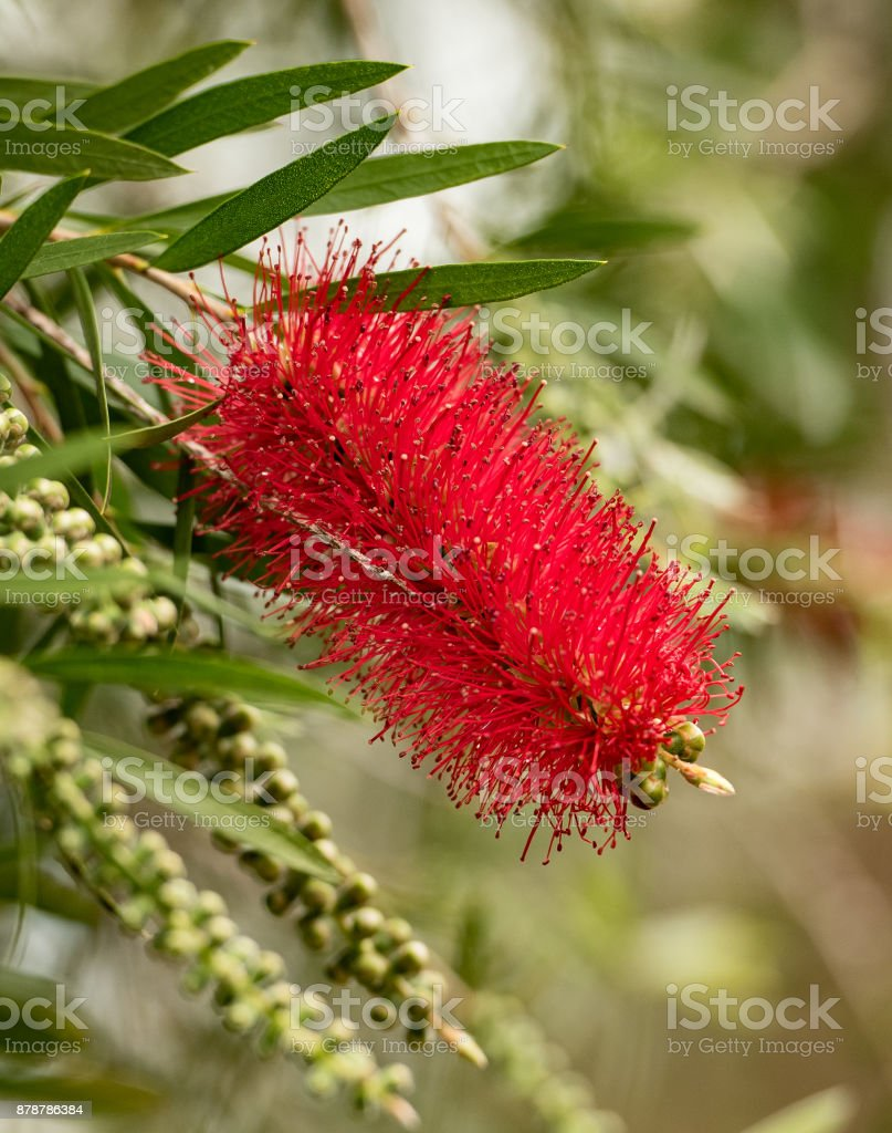 crimson bottelbrush flower showing flower spikes stock photo