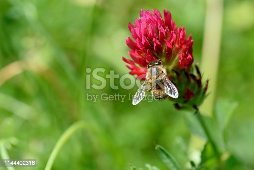Crimson Clover Close-up With Bumble Bees