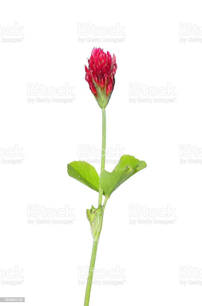 Crimson clover (Trifolium incarnatum) stock photo
