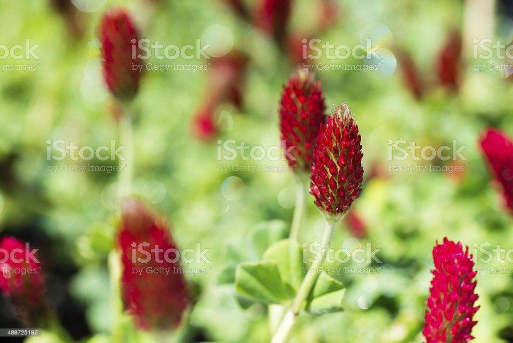 Crimson clover (strawberry candle) (XXXLarge) stock photo