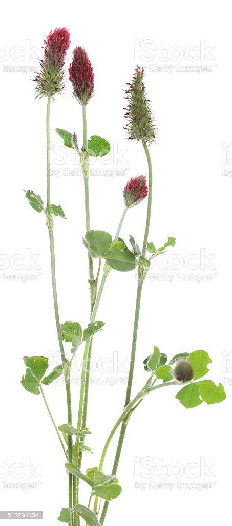 Crimson clover stock photo