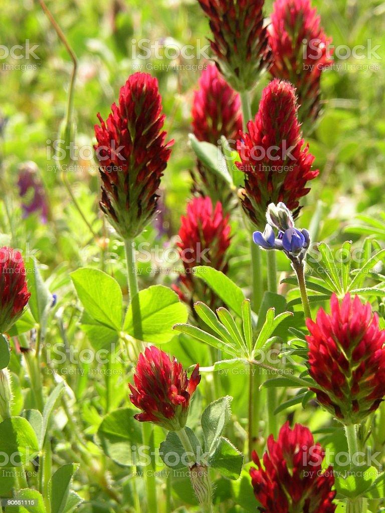 Crimson clover #3 stock photo