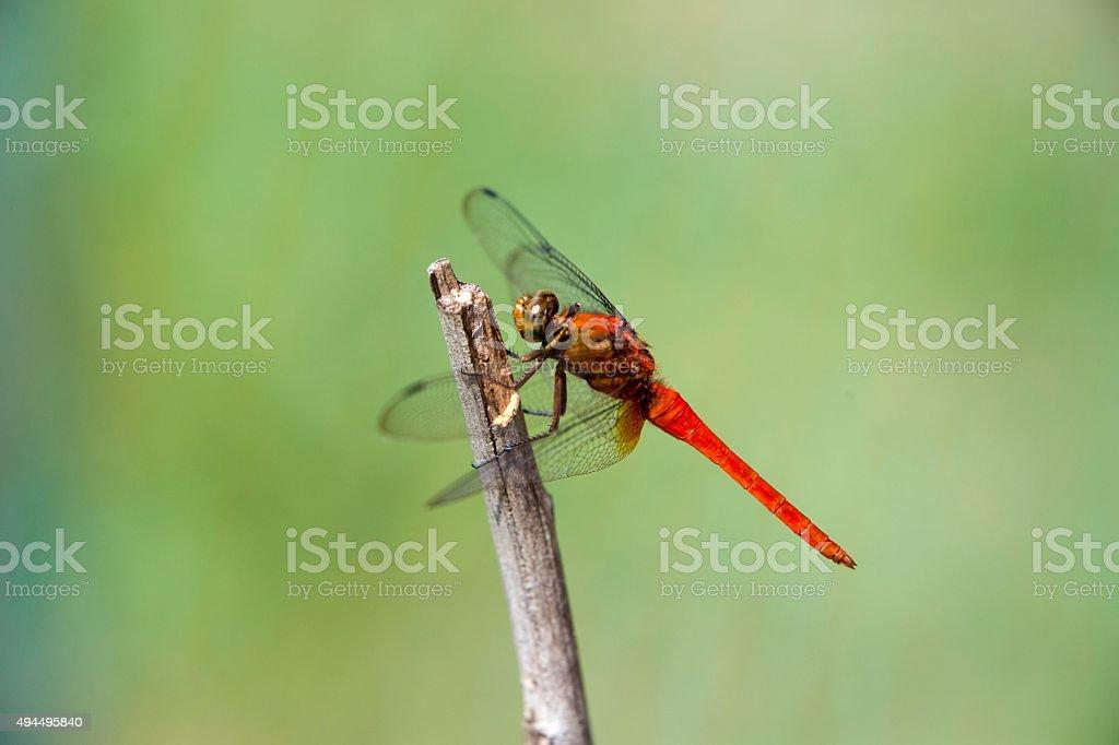 Crimson Libelle – Foto