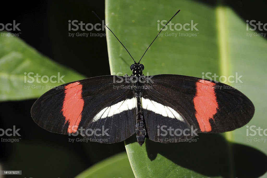 Crimson-patched Longwing Butterfly stock photo