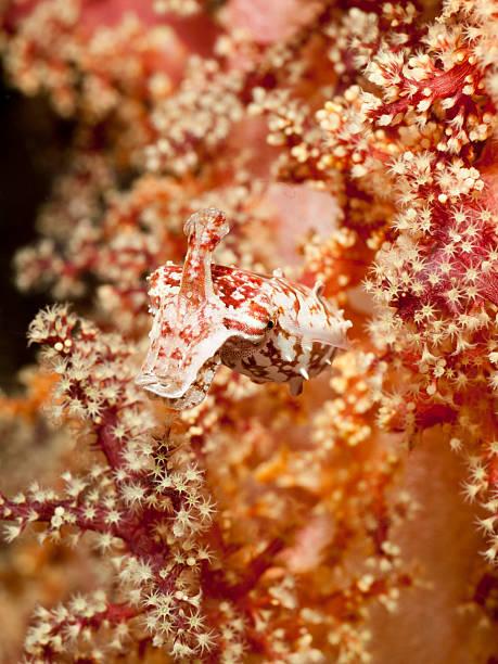 Crinoid cuttlefish - sepia mestus stock photo