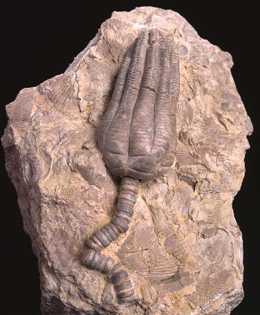 Fossil of crinoid Encrinus liliiformus 200 million years ago
