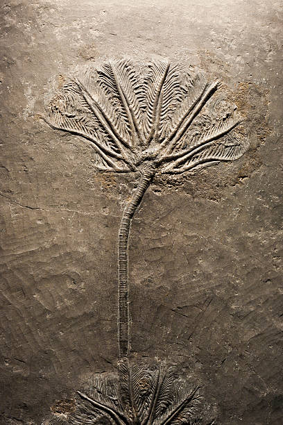 Crinoid(sea lily)fossil