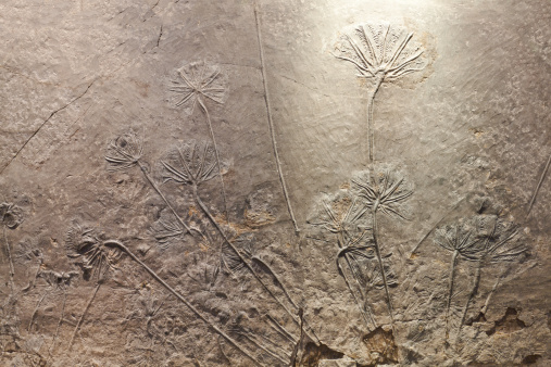 Crinoid(sea lily)fossil.Latin name:Traumatocrinus sp.