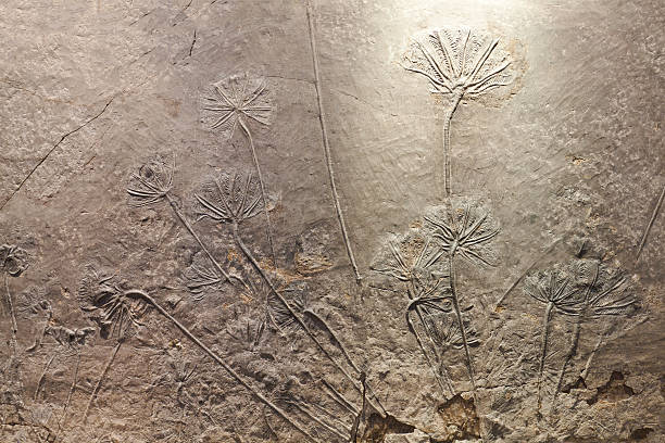 Haarstern (sea lily) fossil – Foto