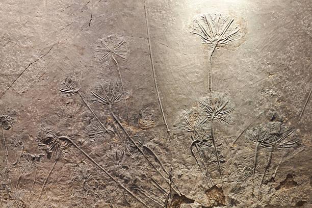 ウミユリ(seborrheic dermatitis )の化石 ストックフォト