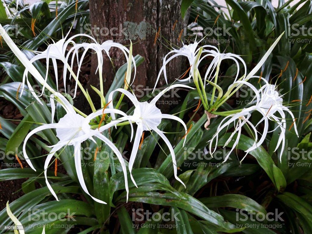 Crinum asiaticum, poison bulb, giant crinum lily, Grand crinum lily or spider lily stock photo