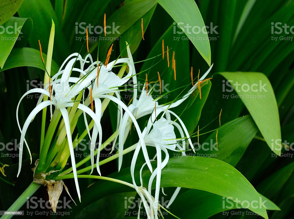 Crinum Lily, Cape Lily, Spider Lily, Poison Bulb, in the garden. royalty-free stock photo