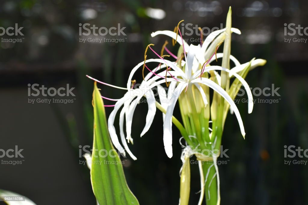 Crinum oliganthum, tropical flower stock photo