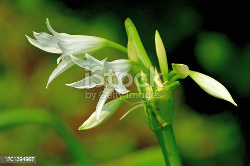 Crinum powellii, commonly called swamp lily, is a bulbous perennial, sometimes evergreen, with umbels of fragrant, funnel-shaped light pink or white flower held well above the strap-shaped leaves, blooming from summer to early autumn.