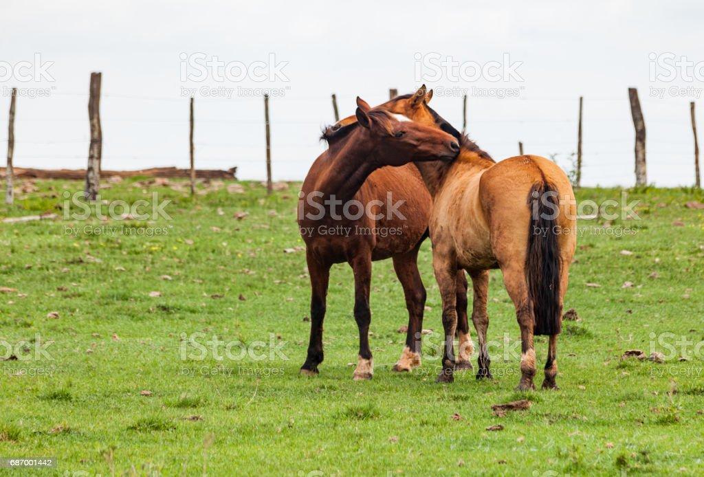 Criollo Pferd Brasilien Lizenzfreies stock-foto