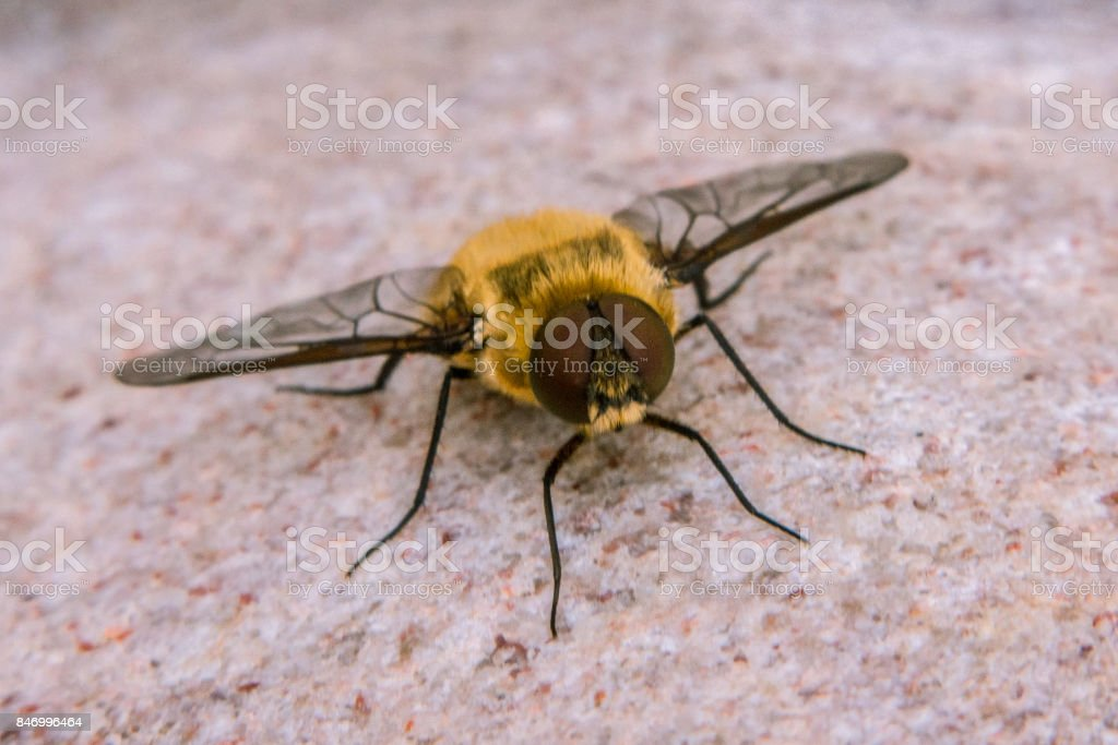 Criorhina asilica stock photo