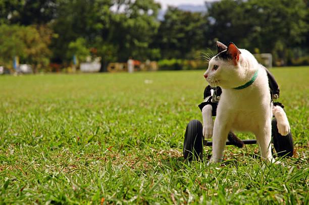 Cripple Cat In Wheelchair stock photo