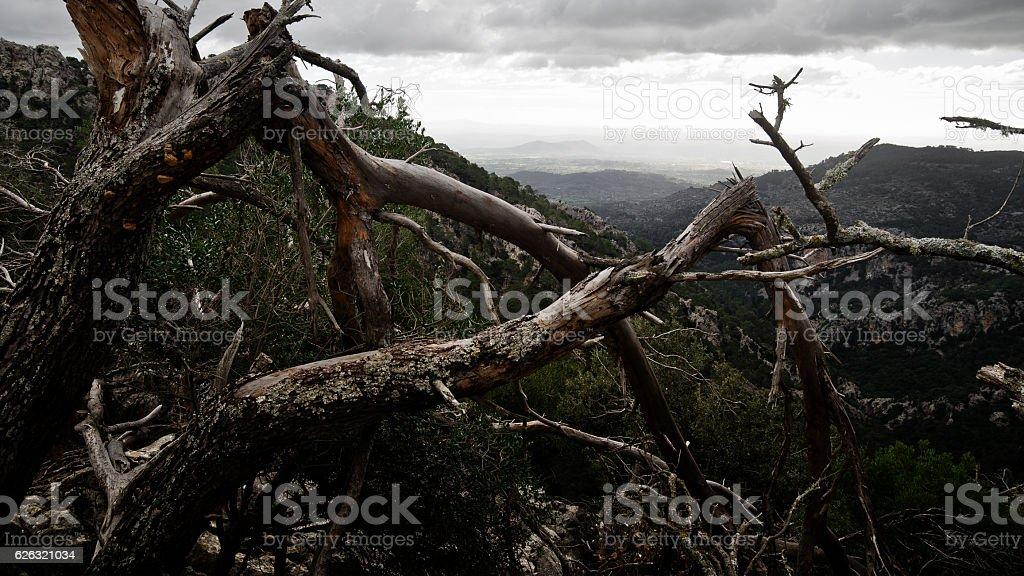 Crippled tree in Sierra de Tramuntana mountain range on Majorca stock photo
