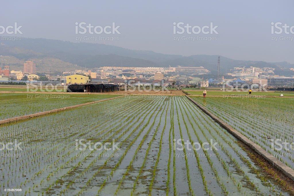Crisp rice fields stock photo