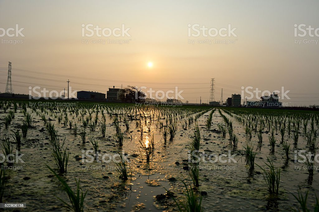 Crisp rice fields stock photo