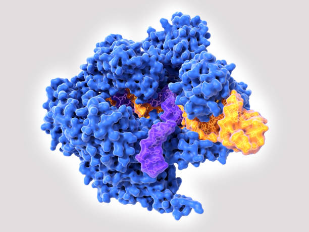 CRISPR-Cas9: The Cas9 enzyme in complex with RNA (yellow) and single stranded DNA (violet) stock photo