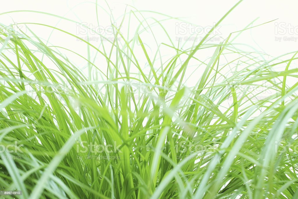 Crispy green cypress grass stock photo