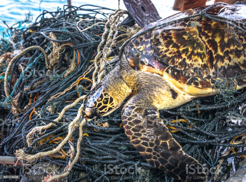 Critically Endangered Hawksbill Sea Turtle tangled Ghost Net stock photo