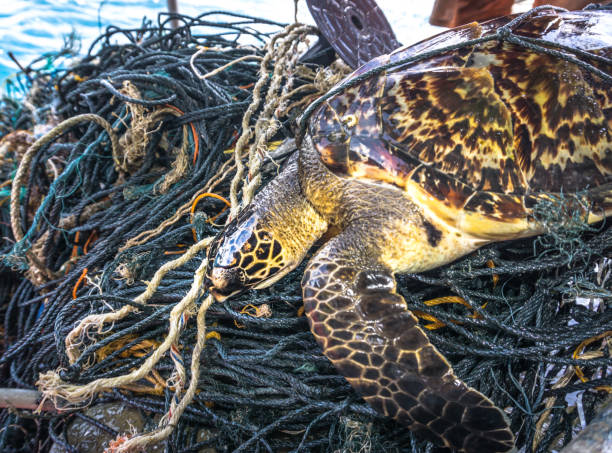Critically Endangered Hawksbill Sea Turtle tangled Ghost Net This rare Critically Endangered Hawksbill Sea Turtle (Eretmochelys imbricata) is entangled in discarded fishing net aka 'Ghost nets'.  Classified by the IUCN as facing an extremely high risk of extinction in the wild in the immediate future.  The animal has been found alive but without help would perish.  Ghost nets have a devastating effect on marine life, as can be seen here.  The turtle, was released by the photographer after this image was taken.  The location is  Phi Phi islands in the Andaman Sea, Krabi, Thailand. fishing net stock pictures, royalty-free photos & images