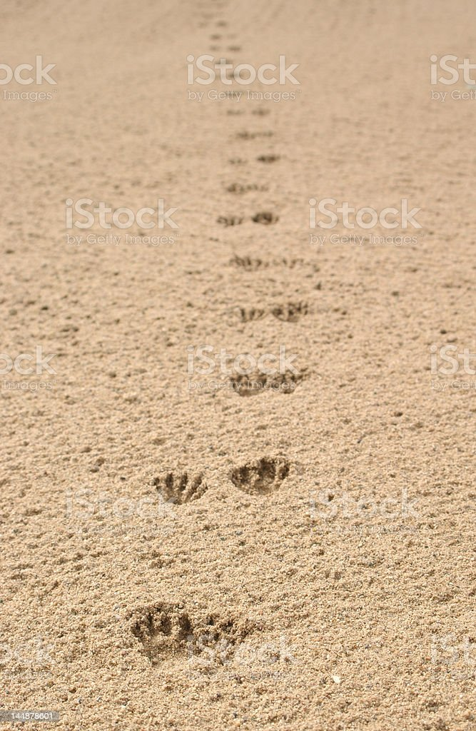Critter tracks through sand royalty-free stock photo