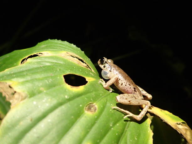 croaking frog - croak stock pictures, royalty-free photos & images