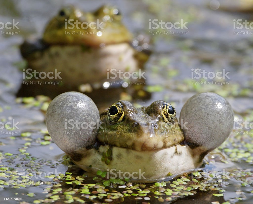 Croaking frogs stock photo