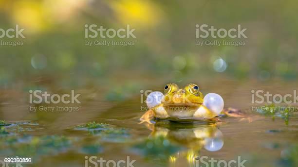 Photo of Croaking Green frog