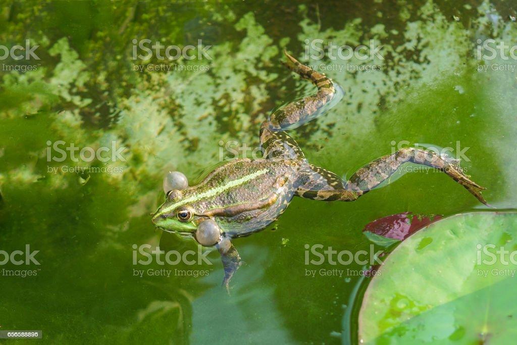 Croaking, the male marsh frog (Pelophylax ridibundus) in water stock photo