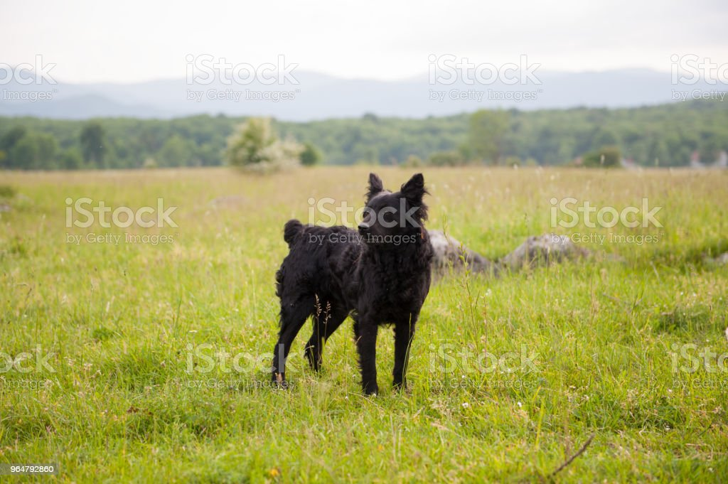 Croatian shepherd dog in the field. Black dog in nature, outdoors. royalty-free stock photo