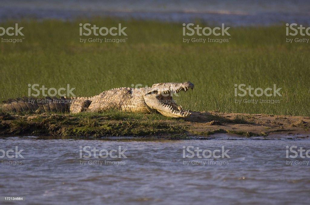 Croc royalty-free stock photo