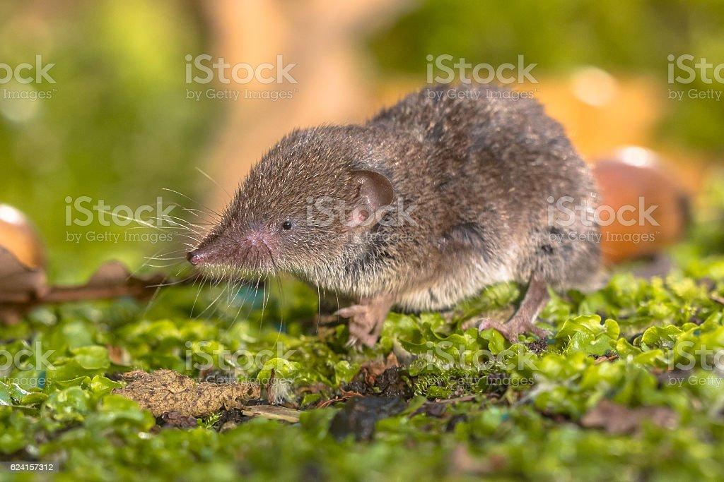 Crocidura Shrew walking on forest floor stock photo