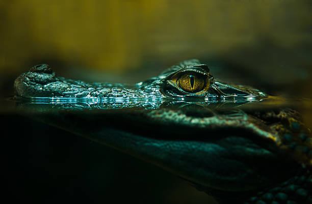 alligator, crocodile, gros plan - Photo
